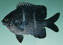 Image of Plectroglyphidodon sindonis (Rock damselfish)