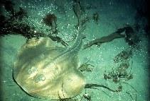 Image of Platyrhinoidis triseriata (Thornback guitarfish)