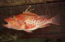 Image of Pontinus clemensi (Mottled scorpionfish)