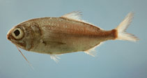 Image of Polymixia lowei (Beardfish)