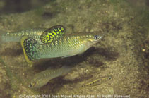 Image of Poecilia mexicana (Shortfin molly)