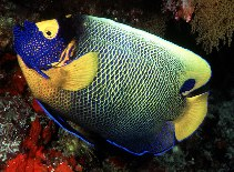 Image of Pomacanthus xanthometopon (Yellowface angelfish)