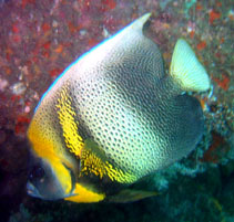 Image of Pomacanthus zonipectus (Cortez angelfish)