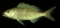 Image of Pristipomoides flavipinnis (Golden eye jobfish)