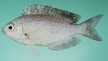 Image of Pristotis obtusirostris (Gulf damselfish)