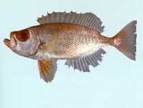 Image of Priacanthus macracanthus (Red bigeye)