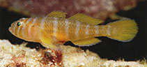 Image of Priolepis pallidicincta (Palebarred goby)