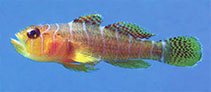 Image of Priolepis profunda (Narrowbar reefgoby)