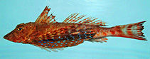 Image of Prionotus roseus (Bluespotted searobin)