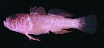 Image of Priolepis semidoliata (Half-barred goby)
