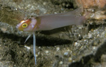 Image of Pseudoplesiops collare (Collared dottyback)
