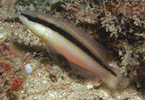 Image of Pseudochromis colei (False Bandit Dottyback)