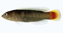 Image of Pseudochromis cyanotaenia (Surge dottyback)