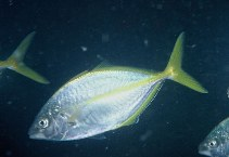 Image of Pseudocaranx dentex (White trevally)
