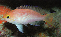 Image of Pseudanthias engelhardi (Orangebar anthias)