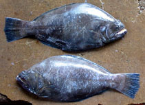 Image of Psettodes erumei (Indian halibut)