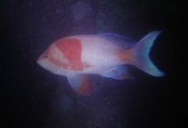 Image of Pseudanthias fasciatus (One-stripe anthias)
