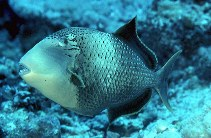 Image of Pseudobalistes flavimarginatus (Yellowmargin triggerfish)