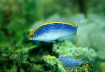 Image of Pseudochromis flavivertex (Sunrise dottyback)