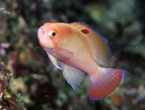 Image of Pseudanthias hypselosoma (Stocky anthias)