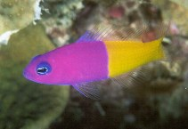 Image of Pictichromis paccagnellae (Royal dottyback)