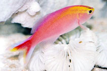Image of Pseudanthias parvirostris (Sunset anthias)