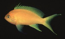 Image of Pseudanthias pleurotaenia (Square-spot fairy basslet)