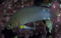 Image of Manonichthys polynemus (Longfin dottyback)