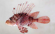 Image of Pterois andover (Andover lionfish)