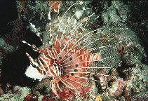 Image of Pterois antennata (Broadbarred firefish)