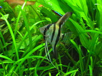 Image of Pterophyllum scalare (Freshwater angelfish)