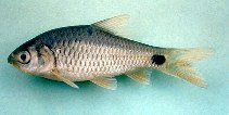 Image of Barbodes binotatus (Spotted barb)