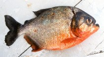 Image of Pygocentrus nattereri (Red piranha)