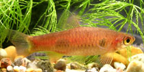 Image of Rasbora kalochroma (Clown rasbora)