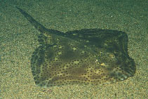 Image of Raja montagui (Spotted ray)