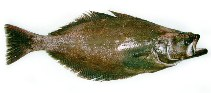 Image of Reinhardtius hippoglossoides (Greenland halibut)