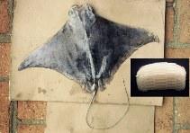 Image of Rhinoptera brasiliensis (Brazilian cownose ray)