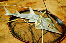 Image of Rhynchobatus djiddensis (Giant guitarfish)
