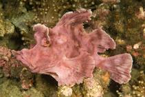 Image of Rhinopias eschmeyeri (Eschmeyer\