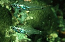 Image of Rhabdamia gracilis (Luminous cardinalfish)