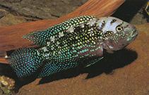 Image of Rocio octofasciata (Jack Dempsey)