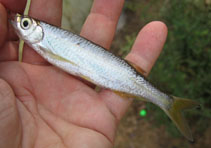 Image of Salmostoma acinaces (Silver razorbelly minnow)