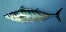 Image of Sarda chiliensis (Eastern Pacific bonito)