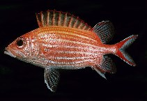 Image of Sargocentron ensifer (Yellow-striped squirrelfish)