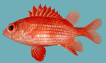 Image of Sargocentron inaequalis (Lattice squirrelfish)