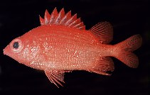 Image of Sargocentron iota (Dwarf squirrelfish)
