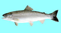 Image of Salmo labrax (Black Sea salmon)