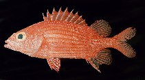 Image of Sargocentron lepros (Spiny squirrelfish)
