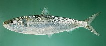 Image of Sardinella longiceps (Indian oil sardine)
