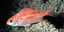 Image of Sargocentron punctatissimum (Speckled squirrelfish)